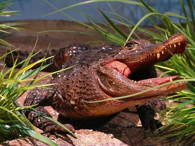 narządy rozrodcze zwierząt - krokodyl
