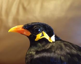 Ptak mówiący po japońsku