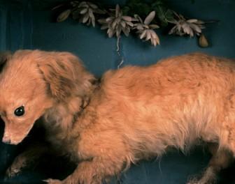 Canis vertigus – wymarła rasa psów, które służyły jako narzędzia kuchenne