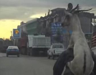 Ot, rowerzysta wiezie kozę… na barana