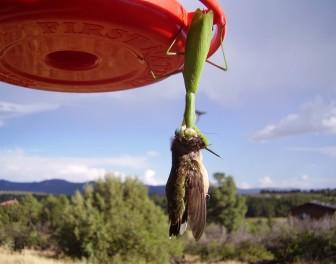 Modliszki – morderczynie kolibrów