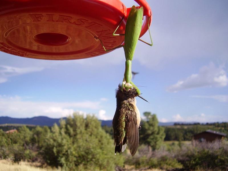 modliszki-kolibry