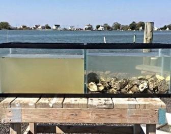 Oto w jak wielkim stopniu ostrygi wpływają na przejrzystość wód, w których żyją