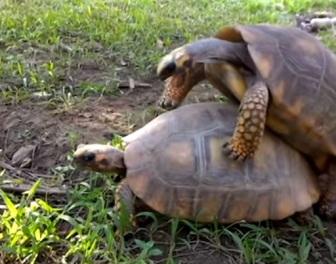 Sekstaśmy z udziałem żółwi ujawniają zaskakujące rzeczy