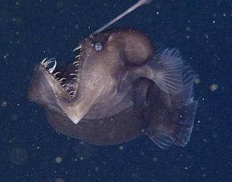 Rzadki gatunek przerażającej ryby uchwycony po raz pierwszy na filmie