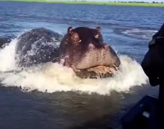 Jak szybko pływa wkurzony hipopotam? Tak szybko!