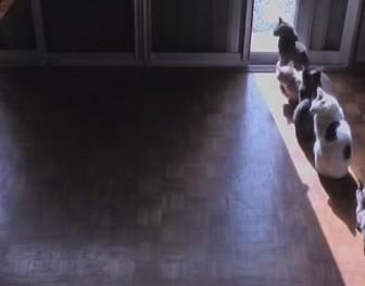 Time-lapse pokazuje stado kotów, które podąża za przemieszczającymi się promieniami słońca